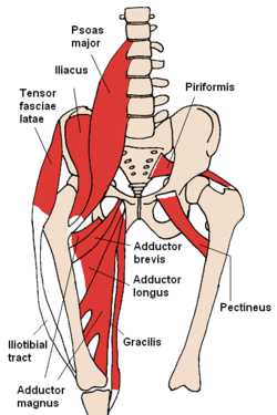 Anterior hip (pelvic) muscles. From: http://goo.gl/2X7b1