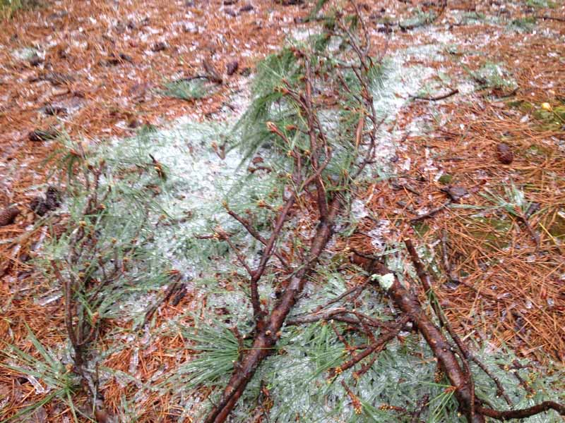 The weight of the ice does a number on the pine trees, as you can see.