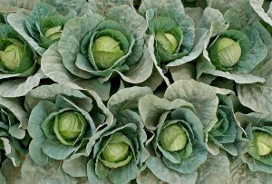Cabbage cluster at Boss Betty