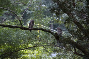 Inspiration from nature: owls at dusk in FitOldDog's yard.