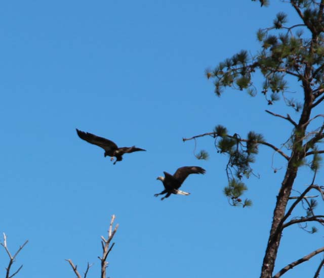 Two eagles in flight by FitOldDog.