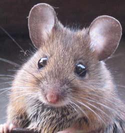 Pest mouse
