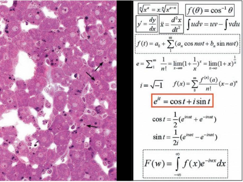 Liver and Fourier Transform